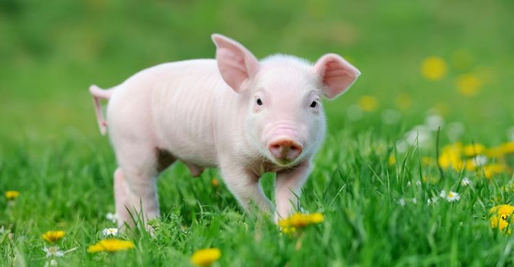Te vas a enamorar de los mini pig (Istock)