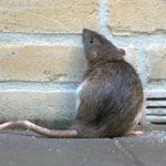 Las ratas y ratones (Istock)
