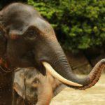 El elefante de Sumatra (Istock)