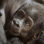 El gorila de montaña y el gorila occidental (Istock)