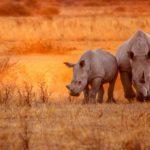 El rinoceronte negro (Istock)