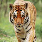 El tigre de Bengala (Istock)