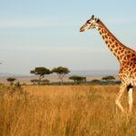 Las jirafas (Istock)