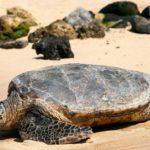 La tortuga caguama (Istock)