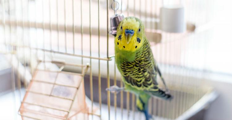 Escuchar música o cantos de otros pájaros puede motivarles (Foto: iStock)