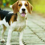 El Beagle (Istock)