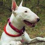 El Bull terrier (Istock)