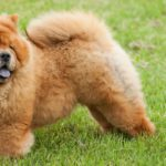 El Chow chow (Istock)