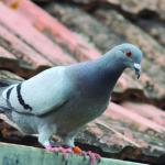 A pesar de su fama, la paloma es más lista de lo que parece (iStock)