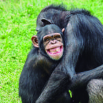 Compartimos mucho con los chimpancés (iStock)