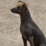 Perro sin pelo del Perú (Istock)