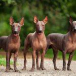 Xoloitzcuintle o perro sin pelo mexicano (Istock)