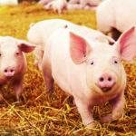 La inteligencia de los cerdos podría compararse con la de un niño de 3 años (iStock)