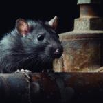 Las ratas son muy espabiladas (iStock)