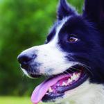 Los border collie son una de las razas de perros más inteligentes (iStock)