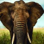 Los elefantes son animales muy sensibles (iStock)