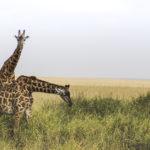El largo cuerpo de una jirafa tarda en gestarse (Unsplash)