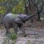 La duración del embarazo de los elefantes tiene fama (Unsplash)