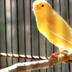 Canario (Foto: iStock)