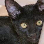 Los gatos Bombay tienen unos ojos que destacan sobre su pelaje (iStock)