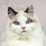 Los gatos ragdoll son conocidos por su adorable carita (iStock)