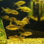 Peces en un acuario (Foto: iStock)