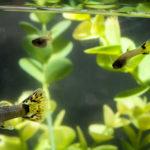 Peces en un acuario doméstico (Foto: iStock)