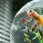 Pez en un acuario en casa (Foto: iStock)