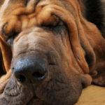 Bloodhound (Istock)