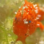 El pez rana es también conocido como pez sapo (Foto: iStock)