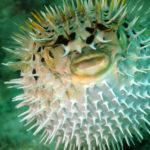 El pez globo también es muy venenoso (Foto: iStock)