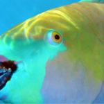 Este pez forma parte de los arrecifes coralinos (Foto: iStock)