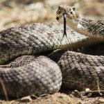 5. Serpiente de cascabel