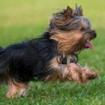 Yorkshire terrier (Istock)