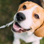 Beagle (Istock)