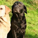 Labrador retriever (Istock)