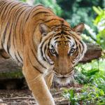 6. Tigres (iStock)