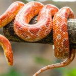 Una de las serpientes 'domésticas' que existen (iStock).