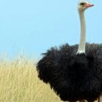 Las avestruces son animales de una belleza singular (iStock).