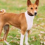Estos perros no ladran debido a la estructura tan peculiar que tienen de las cuerdas vocales (iStock).